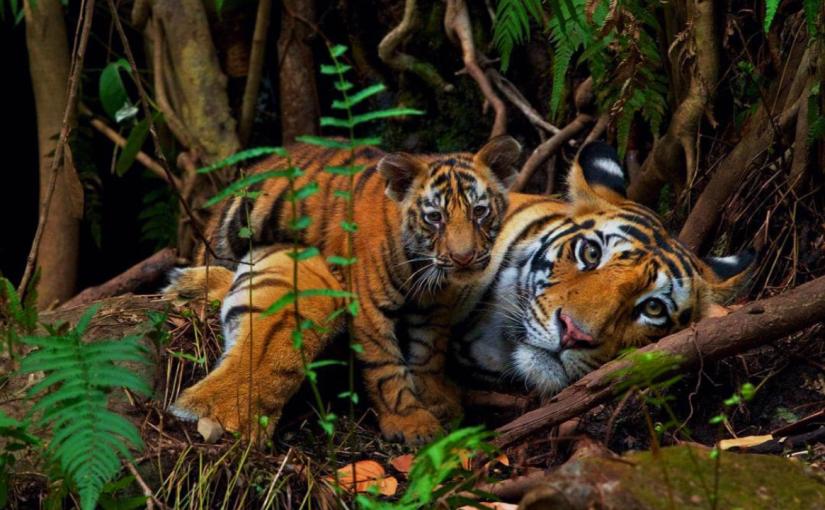 Tiger population sees hopeful rise inNepal